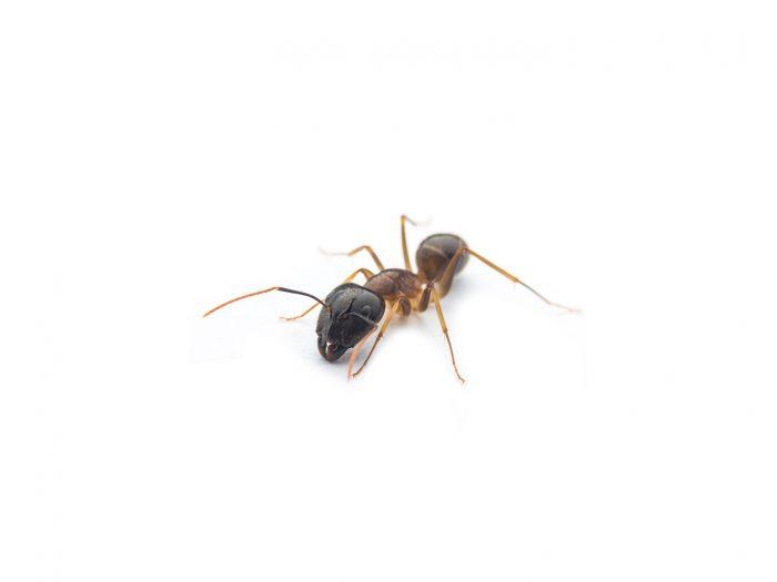 mravec-obycajny